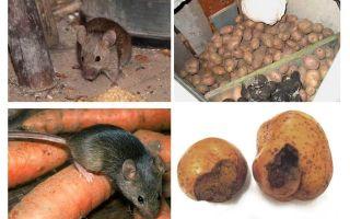 Bagaimana untuk mendapatkan tikus dari ruang bawah tanah