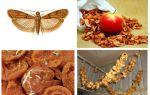 Apa yang perlu dilakukan jika tahi lalat bermula dalam epal kering