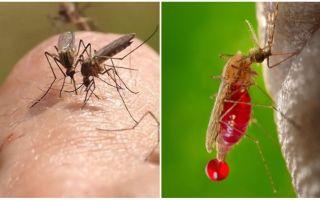 Berapa kali boleh gigitan nyamuk