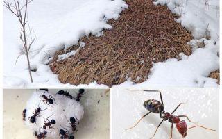 Apa yang dilakukan oleh semut pada musim sejuk