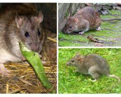 Apa yang kelihatan seperti tikus