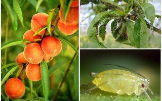 Bagaimana untuk menangani aphids pada orang peach dan cara membeli-belah