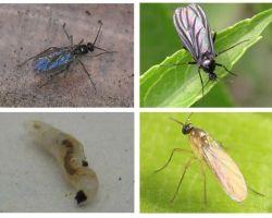 Bagaimana untuk menghilangkan lalat hitam di dalam tumbuh-tumbuhan dalaman dan periuk bunga