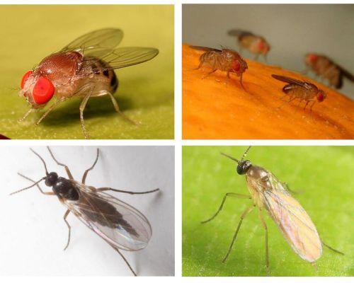 Bagaimana untuk menghilangkan lalat hitam di dapur