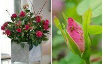 Aphids pada mawar - bagaimana untuk mengendalikan dan bagaimana untuk menyingkirkan