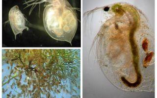 Kutu air di akuarium