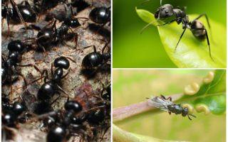 Jenis-jenis semut di Rusia dan dunia