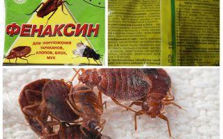 Powder Phenaxin dari bedbugs