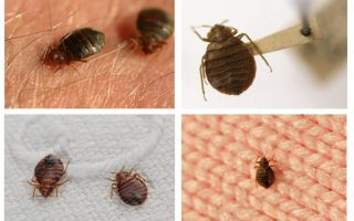 Sama ada bug hidup dalam bantal dan selimut