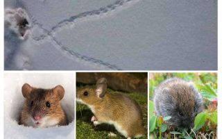 Jejak tikus di salji