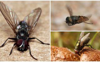 Di mana lalat datang dari dalam rumah