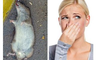 Bagaimana untuk menghilangkan bau tikus mati di bawah lantai