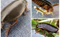 Kumbang Beetle