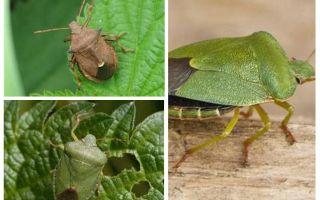 Bugs kerengsaan