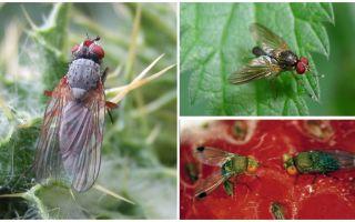 Bagaimana menangani lalat lembing