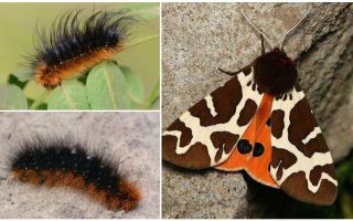 Keterangan dan gambar caterpillar dipper Kaya