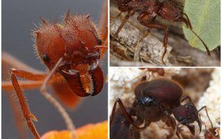 Pemotong daun semut