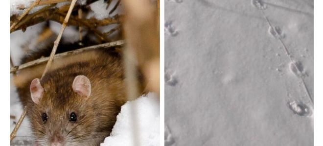 Apa yang kelihatan seperti jejari tikus di salji