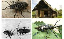 Foto dan maklumat penembak kayu Beetle