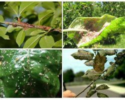 Bagaimana untuk menghilangkan aphids di dalam pokok-pokok