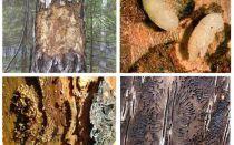 Bagaimana menangani kumbang kulit kayu di rumah kayu