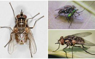 Penerangan dan gambar lalat terbang zhigalki