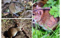 Tikus lapangan