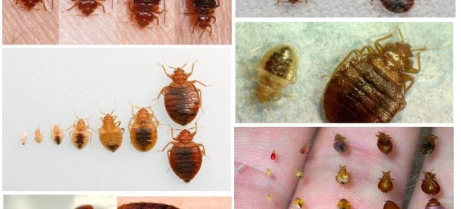 Perlindungan daripada bedbugs di rumah