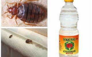 Cuka terhadap bedbugs di apartmen