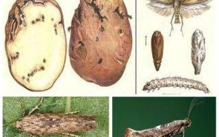 Rama-rama kentang - langkah kawalan penyimpanan