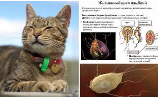 Gejala dan rawatan Giardia dalam kucing