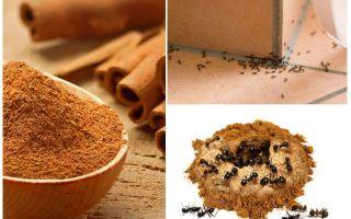 Kayu manis dari semut di apartmen atau taman