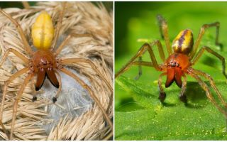 Keterangan dan gambar labah-labah Sak (Heiracantium)