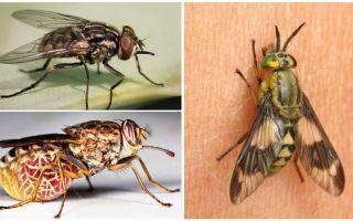Varieti lalat dengan foto dan penerangan