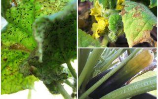 Bagaimana untuk menghilangkan aphids pada zucchini