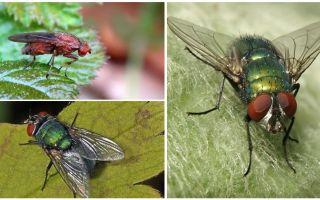 Penerangan dan gambar lalat baja