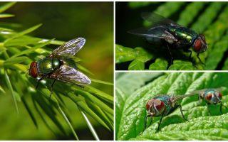 Huraian dan gambar terbang terbang bangkai hijau