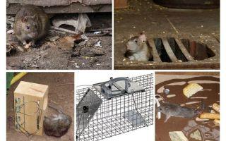 Bagaimana untuk membuang tikus dari ubat-ubatan rakyat bawah tanah