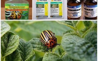 Bagaimana untuk menghilangkan kumbang kentang Colorado secara tetap pada kentang dan bagaimana racunnya