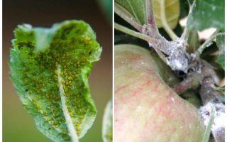 Bagaimana untuk menghilangkan aphids pada pokok epal