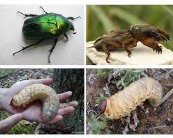 Apakah perbezaan antara larva beruang dan kumbang yang mungkin