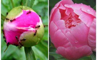 Cara memproses peonies dari semut, ubat-ubatan rakyat