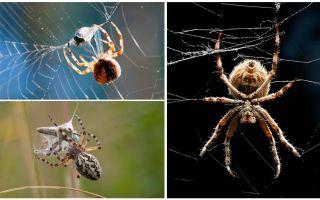 Oleh kerana labah-labah itu membuka web