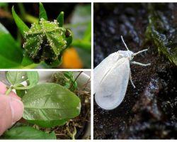 Bagaimana untuk menyingkirkan whitefly pada bunga dalaman