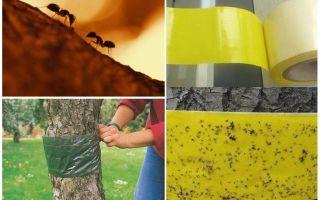 Bagaimana menangani semut di dalam pokok-pokok di taman