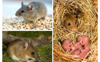 Jangka hayat tikus