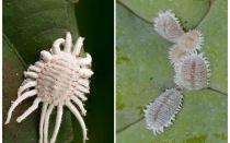 Bagaimana untuk menghilangkan mealybug pada tumbuhan dalaman