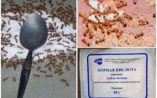 Cara menangani semut merah