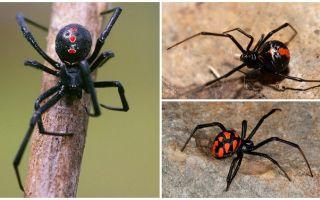 Varieti labah-labah foto dengan nama dan deskripsi