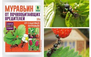 Semut 10g dari semut: arahan penggunaan dan ulasan